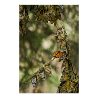 Group of Monarch Butterfies, Mexico Poster