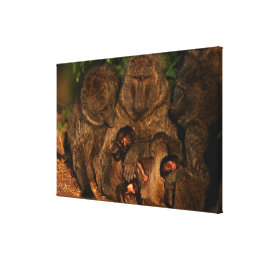 Group of olive baboons (Papio anubis) watching, Canvas Print