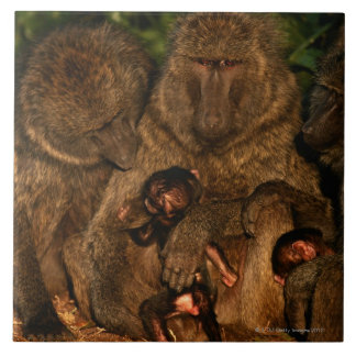 Group of olive baboons (Papio anubis) watching, Tile