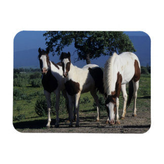 Group of Paint Horses Magnet