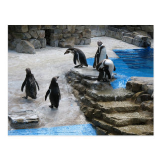 Group Of Penguins Postcard