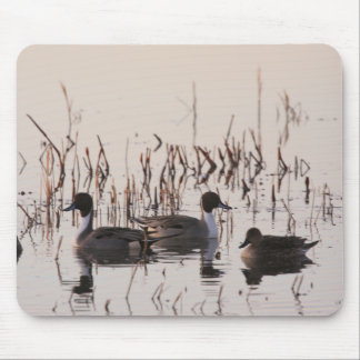 Group of Pintail Ducks Gather and Swims in a lake Mouse Pad