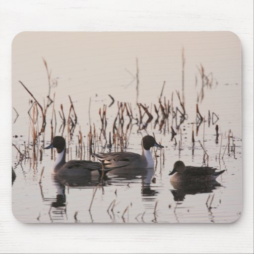 Group of Pintail Ducks Gather and Swims in a lake Mousepads