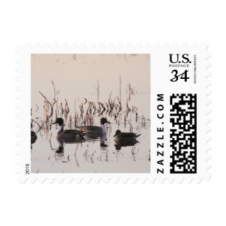 Group of Pintail Ducks Gather and Swims in a lake Postage