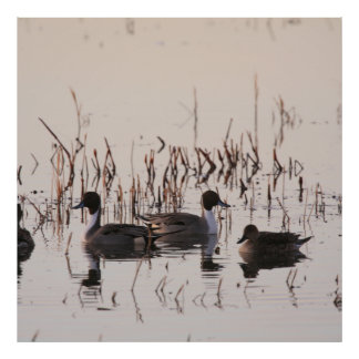 Group of Pintail Ducks Gather and Swims in a lake Poster
