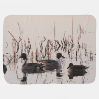 Group of Pintail Ducks Gather and Swims in a lake Receiving Blanket