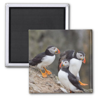 Group of Puffins 2 Inch Square Magnet