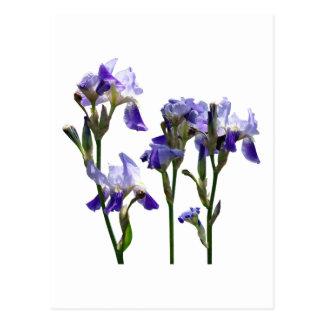 Group of Purple Irises Postcard