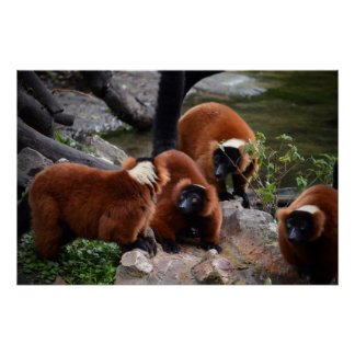 group of red ruffed lemur looking center poster