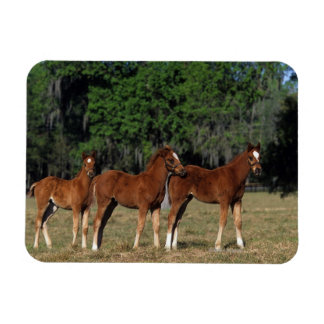 Group of Thoroughbred Foals Magnet
