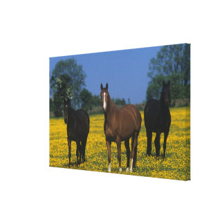 Group of Thoroughbred Horses Canvas Print