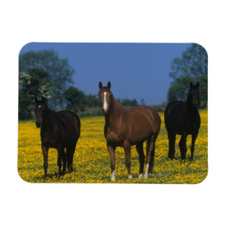 Group of Thoroughbred Horses Magnet