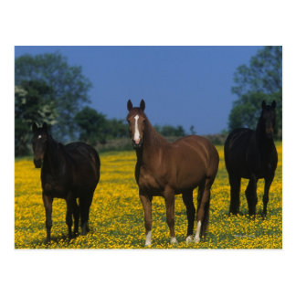 Group of Thoroughbred Horses Postcard