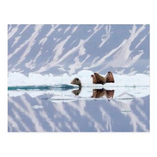 Group of Walruses on Ice Postcard