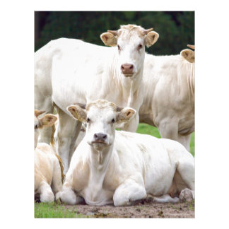 Group of white beige cows posing in meadow letterhead