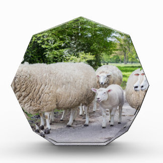 Group of white sheep and lamb on road in nature award