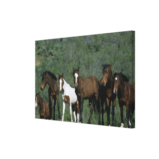 Group of Wild Mustang Horses Canvas Prints
