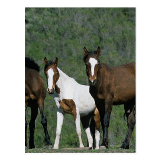 Group of Wild Mustang Horses Postcard