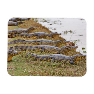 group of yacare caimans magnet