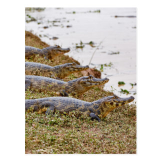 group of yacare caimans post card