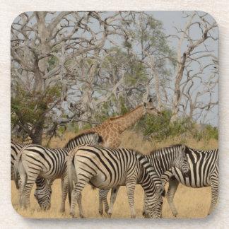 Group of Zebras and Giraffe TomWurl.jpg Beverage Coaster
