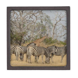 Group of Zebras and Giraffe TomWurl.jpg Jewelry Box