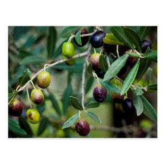 Growing Olives Postcard