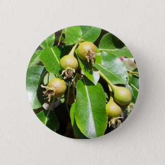 Growing Pears Button