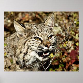Growling Bobcat Poster