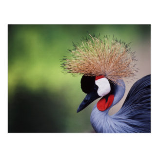 Grúa coronada africano (rugelorum de Balearica Tarjeta Postal