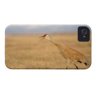 grúa del sandhill, canadensis del Grus, caminando  iPhone 4 Funda