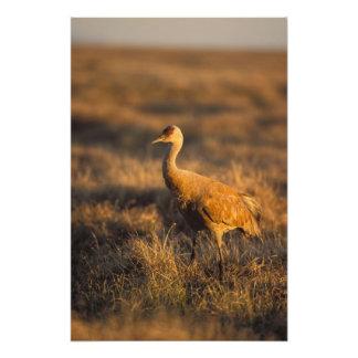 grúa del sandhill, canadensis del Grus, en el 1002 Arte Fotográfico