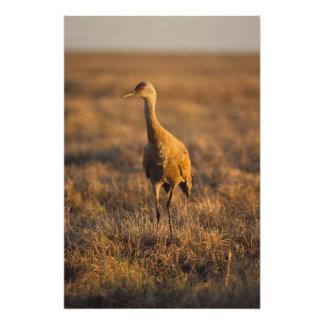 grúa del sandhill, canadensis del Grus, en los 100 Fotos