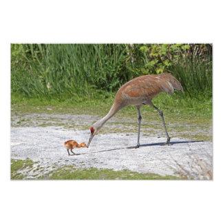 Grúas de Sandhill del pájaro de la madre y del páj Impresion Fotografica