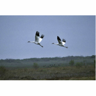 Grúas que chillan en la fauna nacional Refug de Ar Esculturas Fotograficas