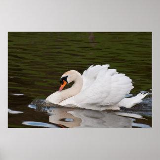 Grumps Male Mute Swan Poster