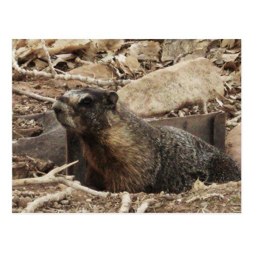 Grumpy Marmot Postcard