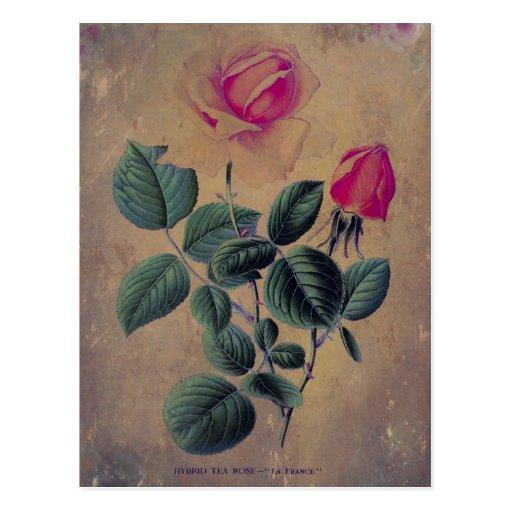 Grunge del rosa de té postal