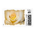 Grungy White Rose Stamp