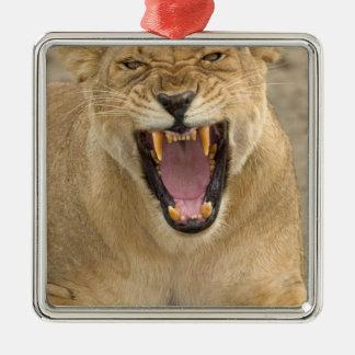Gruñido B, la África del Este, Tanzania de la leon Ornamente De Reyes