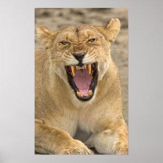 Gruñido B, la África del Este, Tanzania de la leon Impresiones