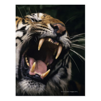 Gruñido del tigre de Bengala (Panthera el Tigris Postal