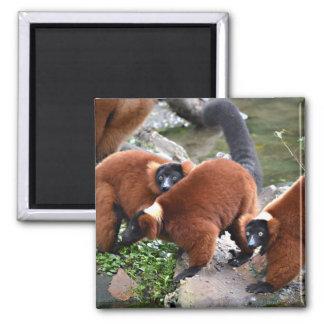 grupo de animal superado rojo de los lemurs c imán de frigorífico