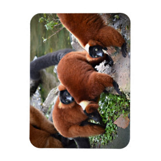 grupo de animal superado rojo de los lemurs c iman de vinilo