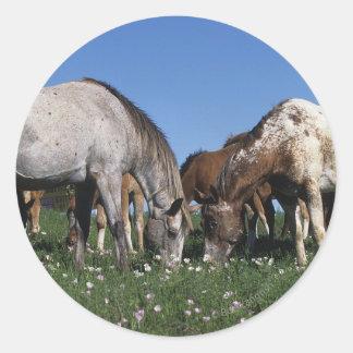 Grupo de caballos del Appaloosa que pastan Pegatina Redonda