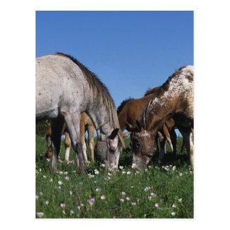 Grupo de caballos del Appaloosa que pastan Tarjetas Postales