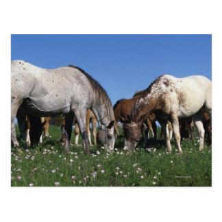 Grupo de caballos del Appaloosa que pastan Tarjeta Postal
