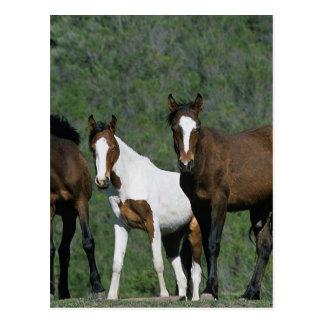 Grupo de caballos salvajes del mustango postales