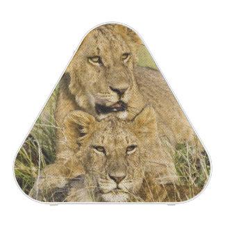Grupo de cachorros de león, Panthera leo, Masai Ma Altavoz