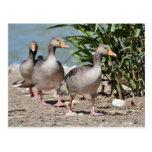 Grupo de caminar de los gansos de ganso silvestre tarjeta postal